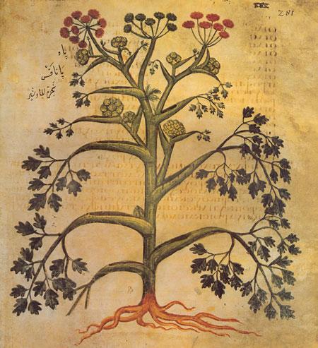 Galbanum from, Dioscorides, De Materia Medica, Vienna manuscript