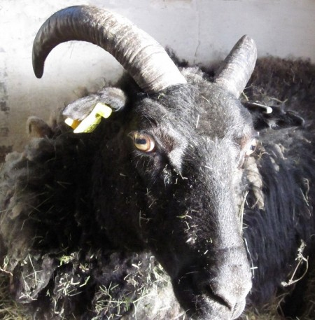 black sheep with horns, symbol of cuckoldry