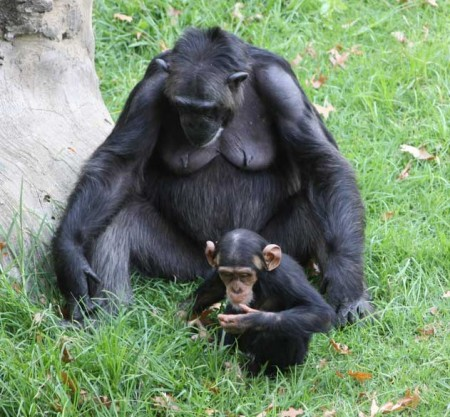 chimpanzee mother with child