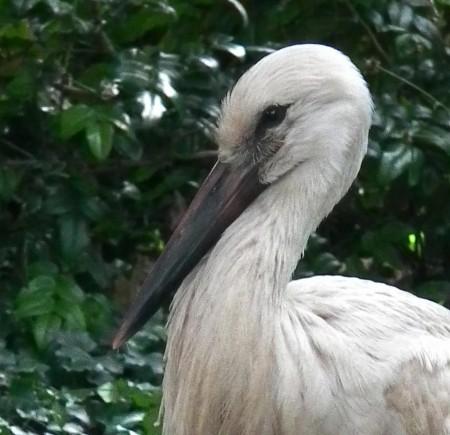 head of stork