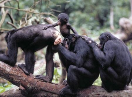 Секс бонобо