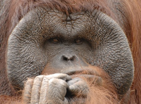 male orangutan pondering humans' views of sexual coercion