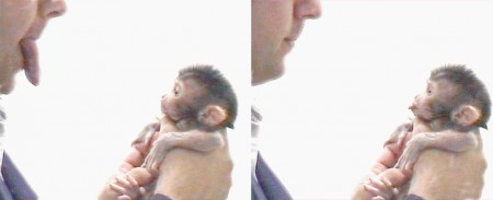 newborn macaque imitates man's tongue protrusion