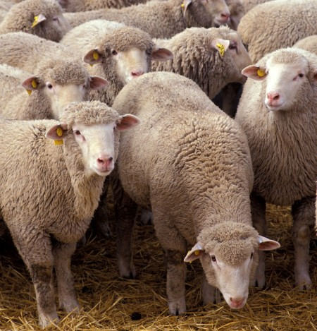 men sheep
