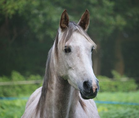 Arabian horse & poetry of chivalry