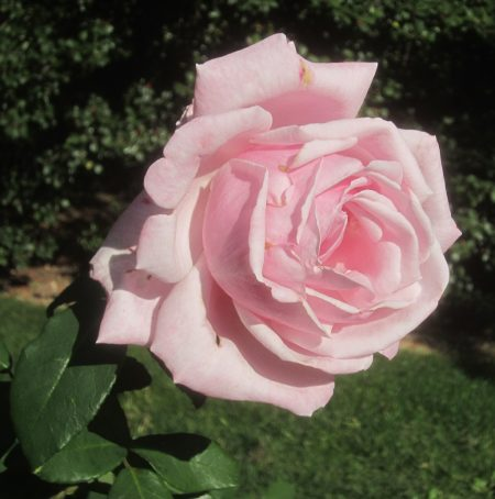 rose looking forward