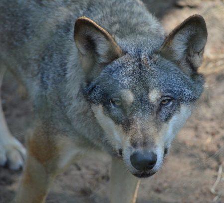 cuckolded wolf