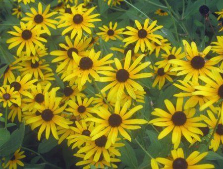 back-eyed susan flowers