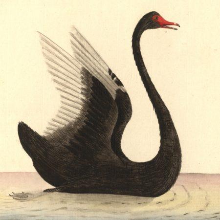 a rare bird, a black swan