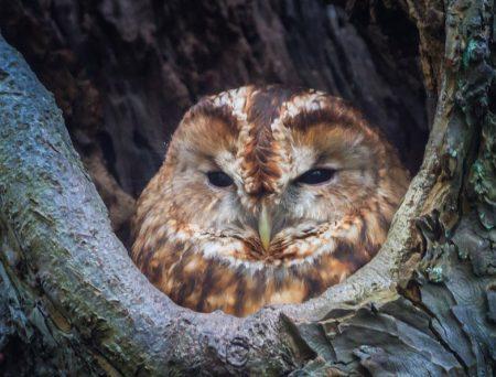 withdrawn owl