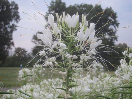 white flowers, green trees