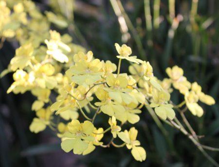 yellow grace
