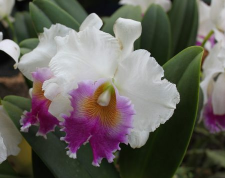 orchid incarnation