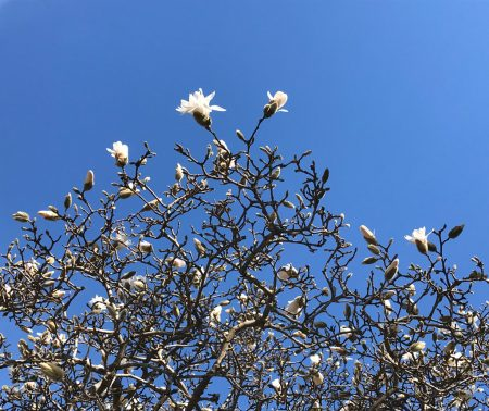 blue sky, white flowers