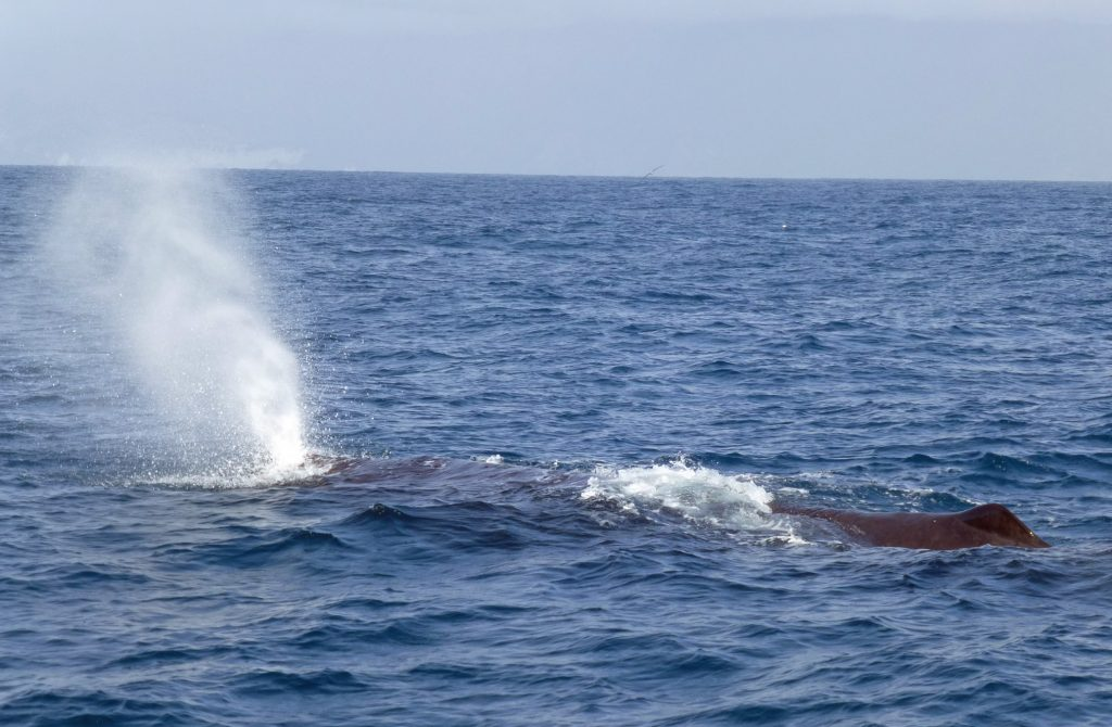 sperm whale blowing