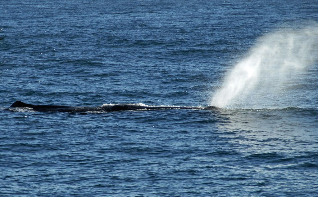 sperm whale spouting