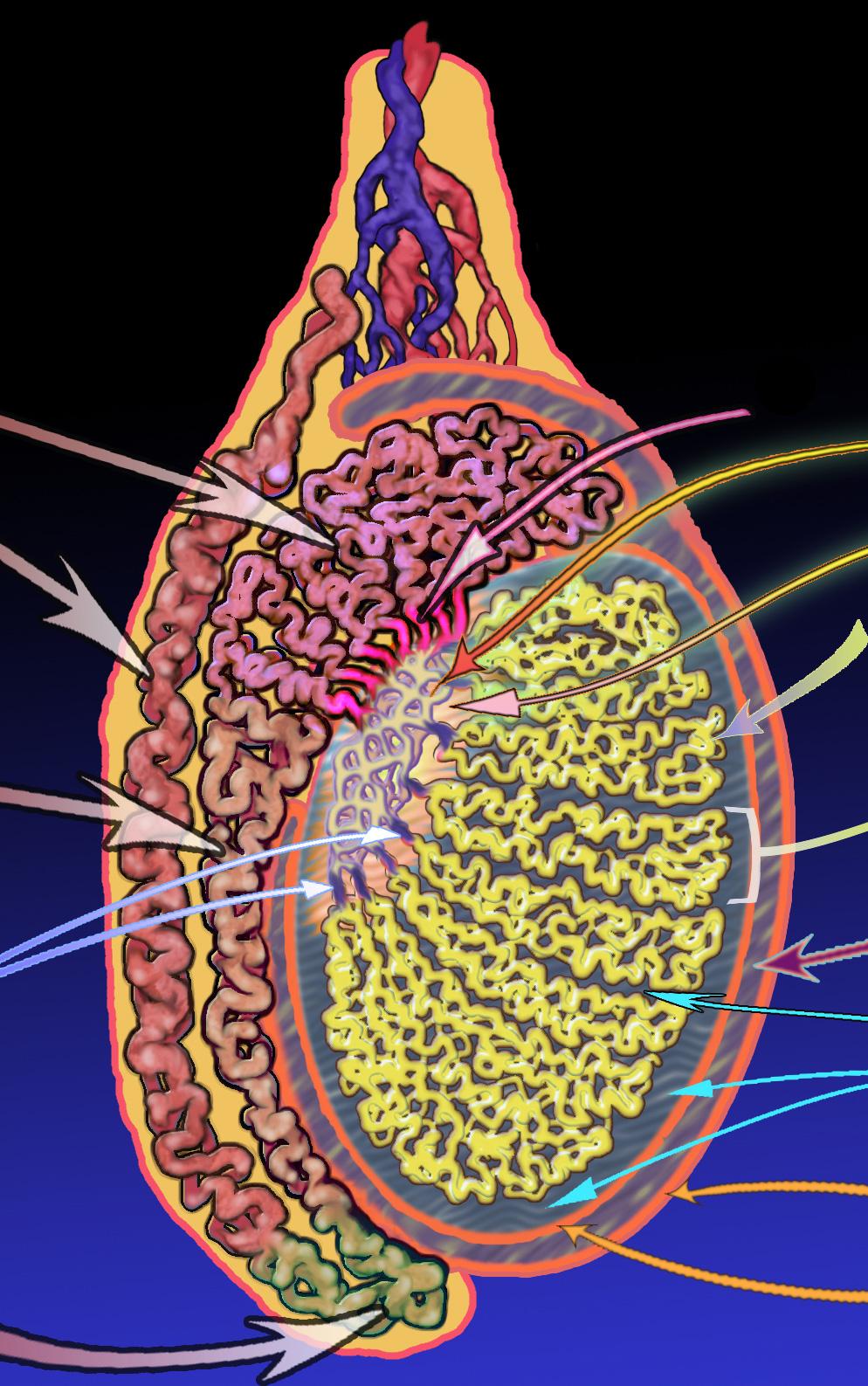 testicle diagram