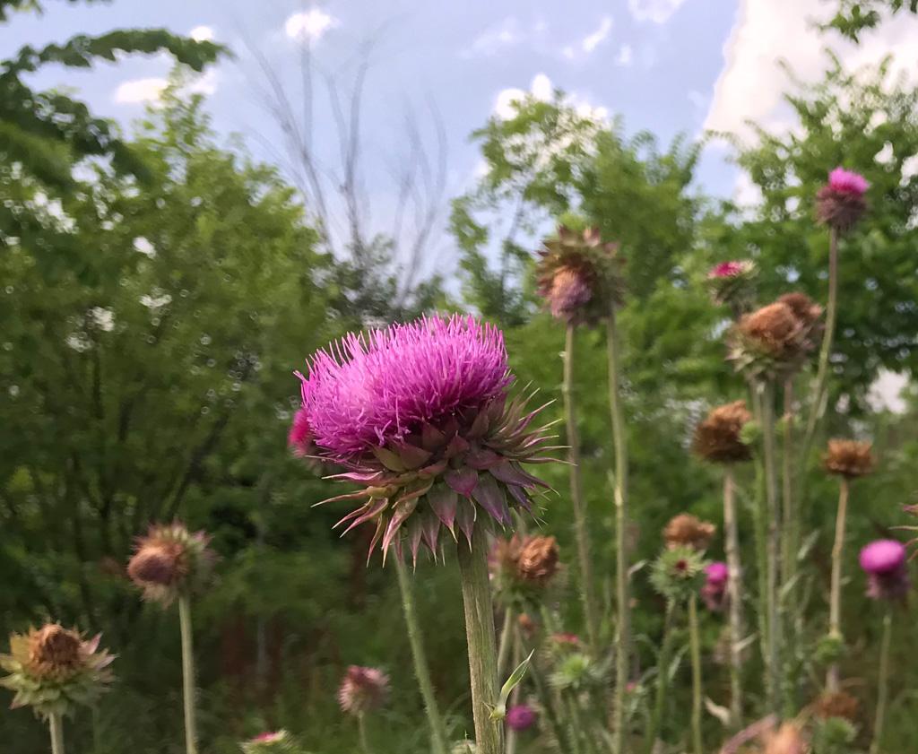 prickly purple flower